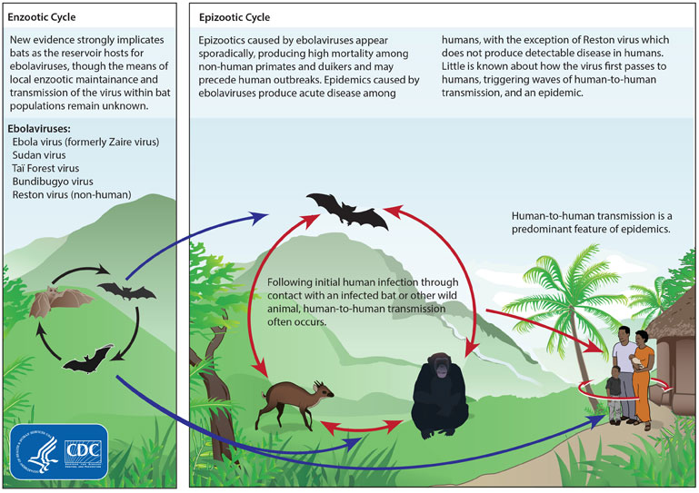 Ebola Virus Life Cycle And Pathogenicity In Humans