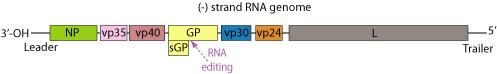 Filovirus genome organisation